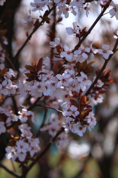 近所の桜まだまだ00044207