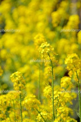 5453219 菜の花