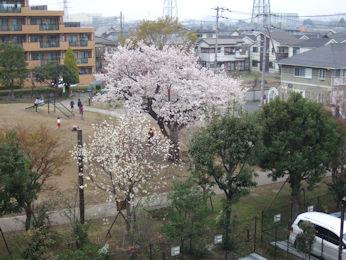 3/27  満開の裏の公園の桜