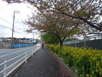 3/9 三浦海岸駅から線路沿いの河津桜