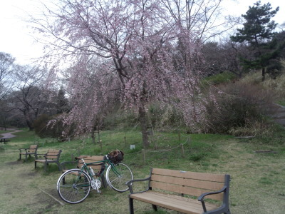 三ツ池公園 桜