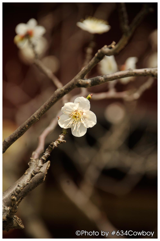 境内に咲く梅 写真