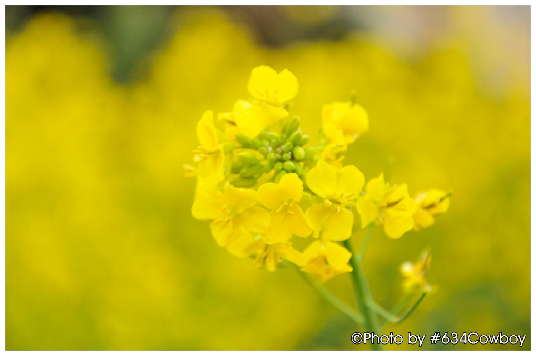 一面に広がる菜の花畑 写真