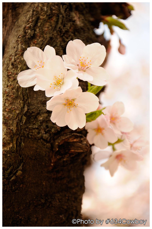 王子界隈の桜 その1