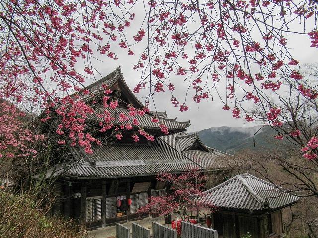 長谷寺・本堂と梅