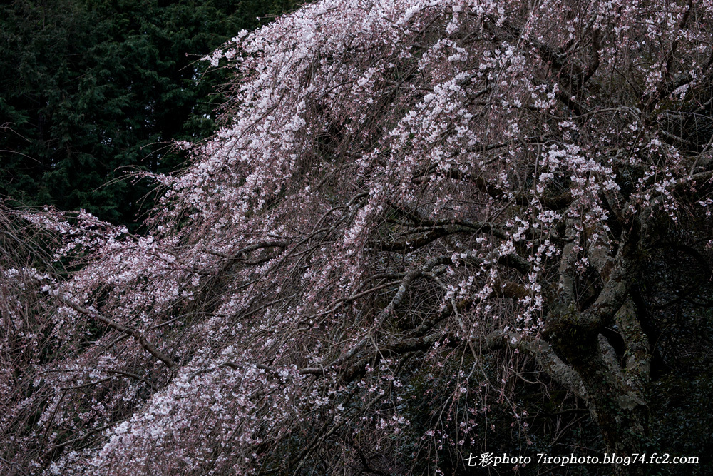 03-28-15_sakura_0028_edited-1.jpg
