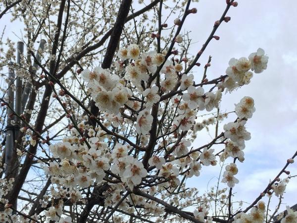 石塚町の桜