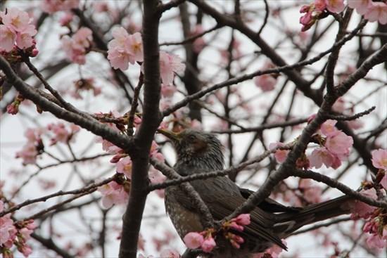 中日桜 ヒヨドリ
