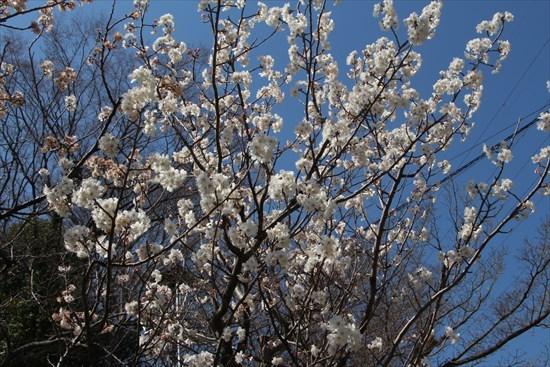 西洋実桜2