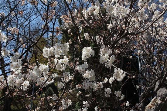 西洋実桜1
