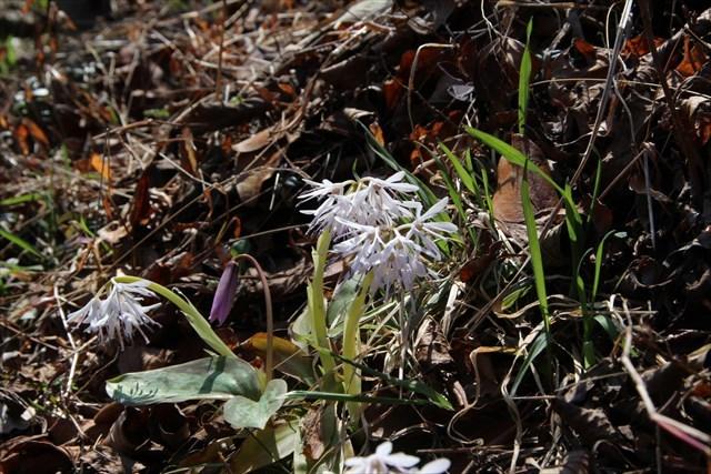 ショウジョウバカマ 白花1