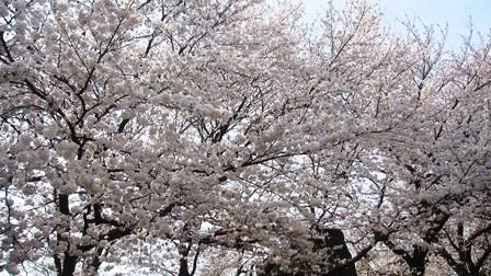 20180327 散歩1@桜満開