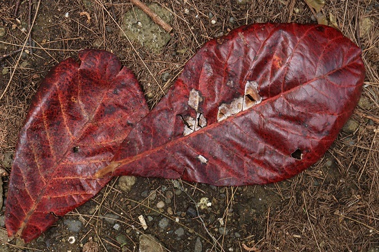 モモタマナの葉