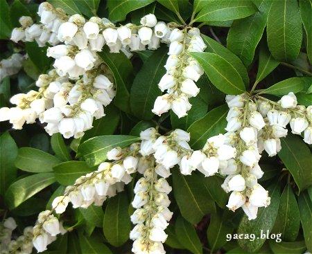 馬酔木の花(あしびのはな)2