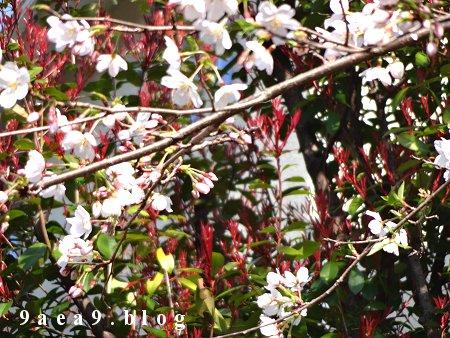 峠の桜はこれからです 1