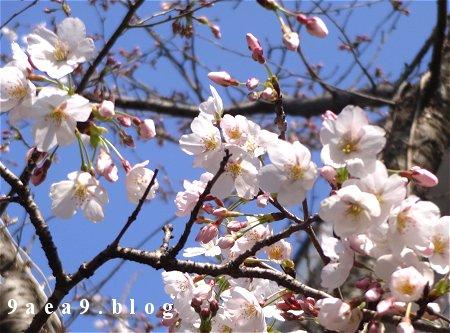 峠の桜はこれからです 2