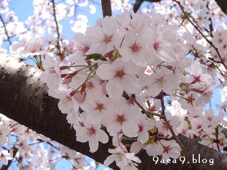 2018 3 30 今日の桜 4