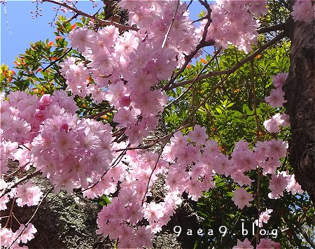 桜 さくら さくら 1
