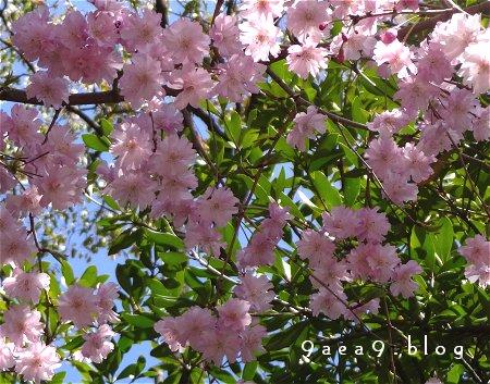 桜 さくら さくら 2