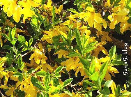 街路樹横の植え込みの 黄色いツツジ 1