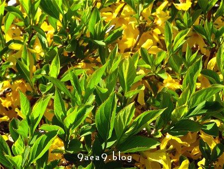 街路樹横の植え込みの 黄色いツツジ 2