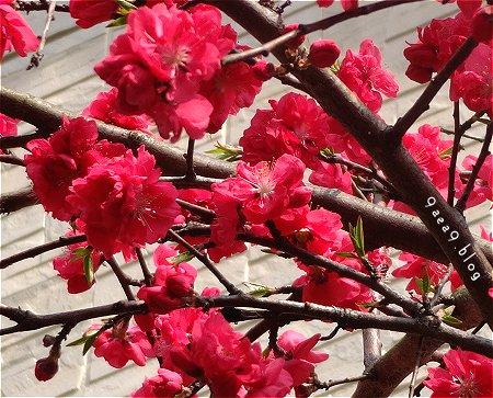 あまり綺麗に撮れなかった 赤い桜 1