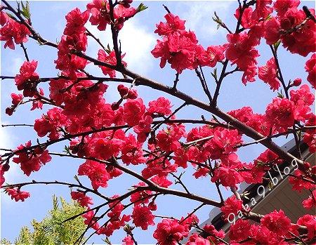 あまり綺麗に撮れなかった 赤い桜 2