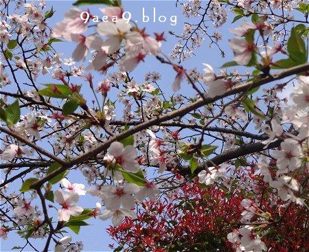 4-2 今日の桜