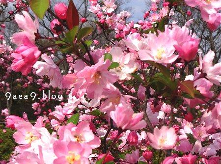 なに桜なのか さっぱり解らない 1