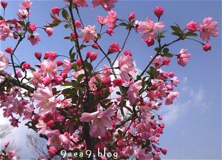 なに桜なのか さっぱり解らない 2
