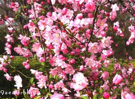なに桜なのか さっぱり解らない 3