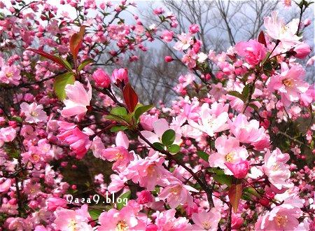 なに桜なのか さっぱり解らない 4
