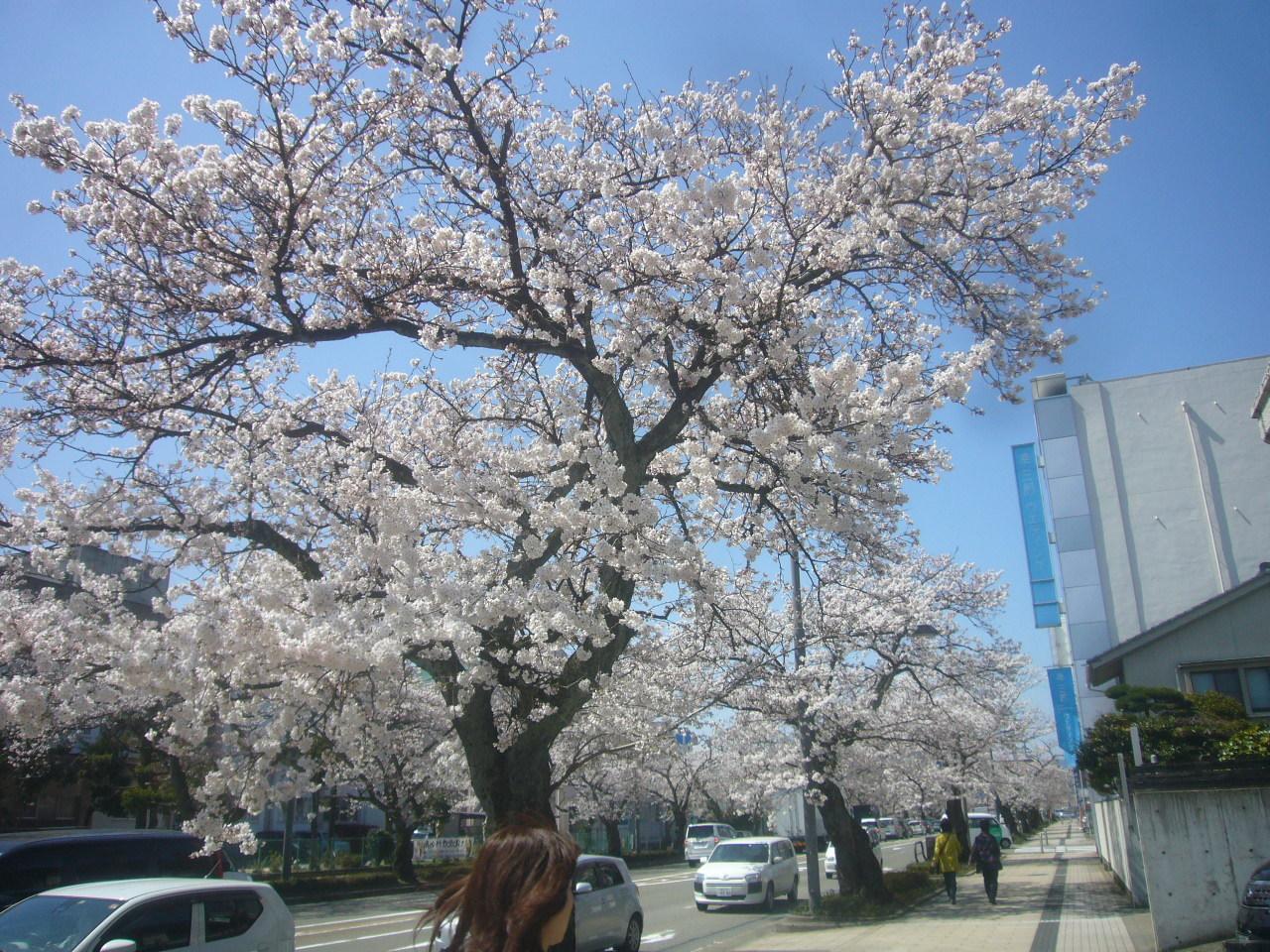 桜通り満開 h30.3.30
