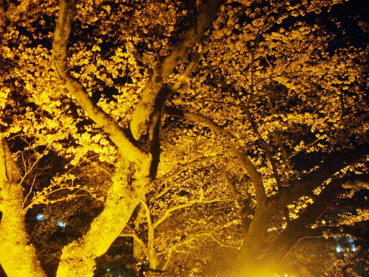 福井県庁夜桜 H30.3.31
