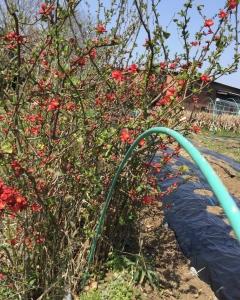 畑のボケの花