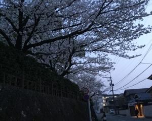 水前寺の桜