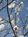 H30.3.4白梅の花 (拡大)@IMG_4670