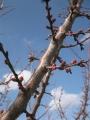 H30.3.4紅梅の花蕾(拡大)@IMG_4667