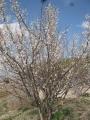 H30.3.4小梅の花@IMG_4661