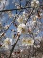 H30.3.4小梅の花(拡大)@IMG_4660