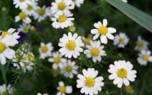 daisy-white_convert_20180301143922.jpg