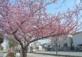 駅前通りの河津桜