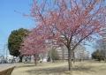 福岡中央公園の河津桜①
