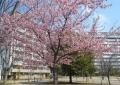 福岡中央公園の河津桜②