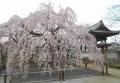 地蔵院のしだれ桜(右は鐘楼)