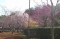 山崎公園の桜園