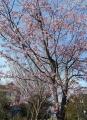 熱海寒桜①