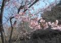 熱海寒桜②