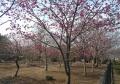 寒緋桜(桜園内)