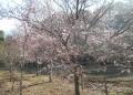 コヒガンザクラ(高遠桜)